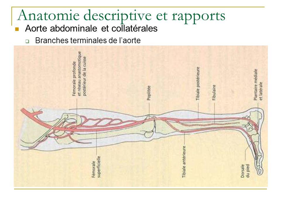 Anatomie descriptive et rapports Aorte abdominale et collatérales Branches terminales de laorte