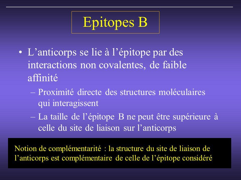 Epitopes B Lanticorps se lie à lépitope par des interactions non covalentes, de faible affinité –Proximité directe des structures moléculaires qui interagissent –La taille de lépitope B ne peut être supérieure à celle du site de liaison sur lanticorps Notion de complémentarité : la structure du site de liaison de lanticorps est complémentaire de celle de lépitope considéré