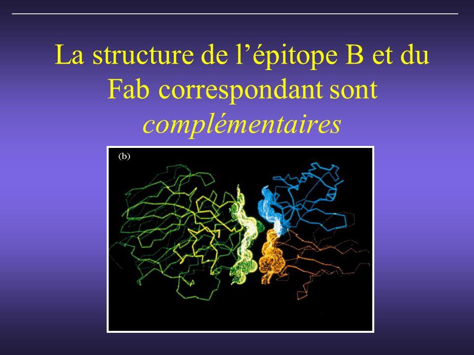 La structure de lépitope B et du Fab correspondant sont complémentaires