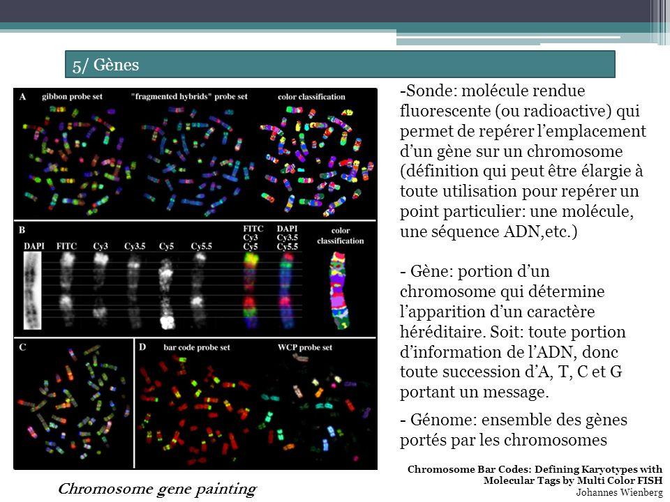 5/ Gènes Chromosome gene painting -Sonde: molécule rendue fluorescente (ou radioactive) qui permet de repérer lemplacement dun gène sur un chromosome (définition qui peut être élargie à toute utilisation pour repérer un point particulier: une molécule, une séquence ADN,etc.) - Gène: portion dun chromosome qui détermine lapparition dun caractère héréditaire.