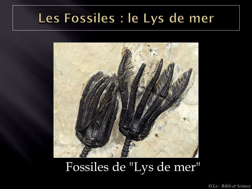 Fossiles de