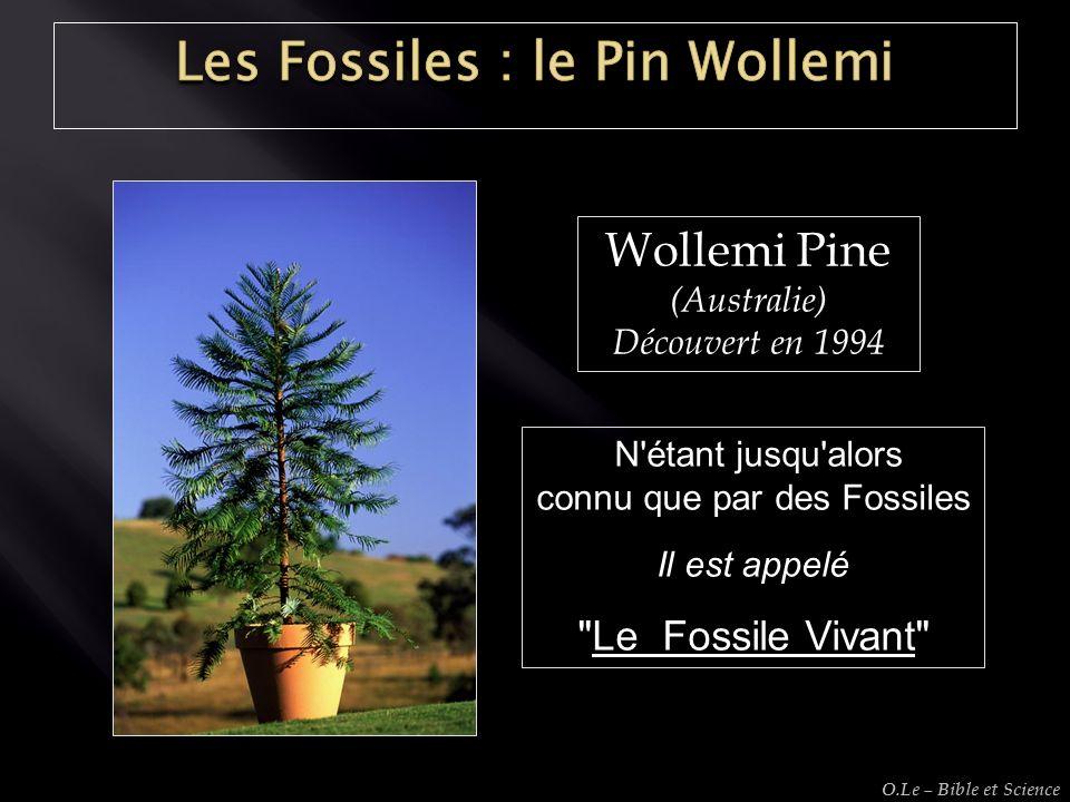 Wollemi Pine (Australie) Découvert en 1994 N'étant jusqu'alors N'étant jusqu'alors connu que par des Fossiles Il est appelé