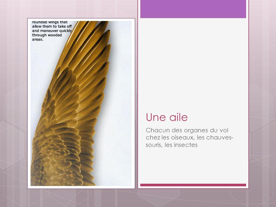 Une aile Chacun des organes du vol chez les oiseaux, les chauves- souris, les insectes