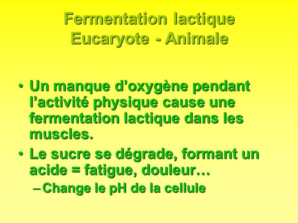 Fermentation lactique Eucaryote - Animale Un manque doxygène pendant lactivité physique cause une fermentation lactique dans les muscles.Un manque dox