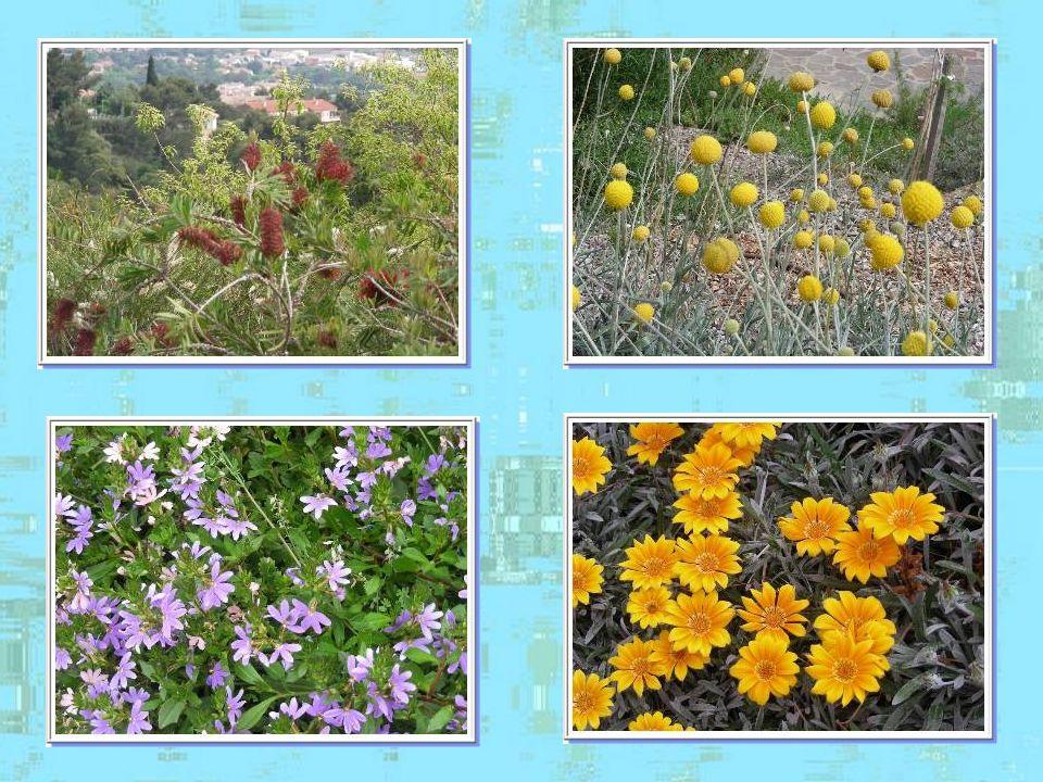 Ce qui rend la promenade dans Bormes-les- Mimosas absolument magique cest la présence dun patrimoine floral considérable grâce à son climat extrêmemen