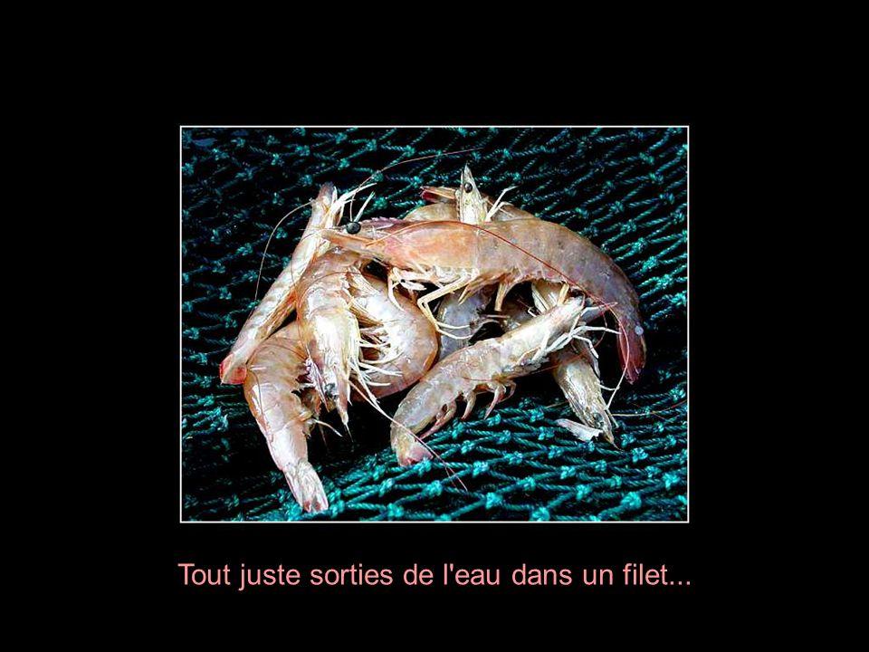 Ah! Les crevettes, ces jolies demoiselles des eaux qui ont envahi toutes les tables gastronomiques de la planète. La crevette est un petit crustacé, t