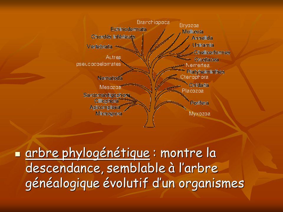 arbre phylogénétique : montre la descendance, semblable à larbre généalogique évolutif dun organismes arbre phylogénétique : montre la descendance, se