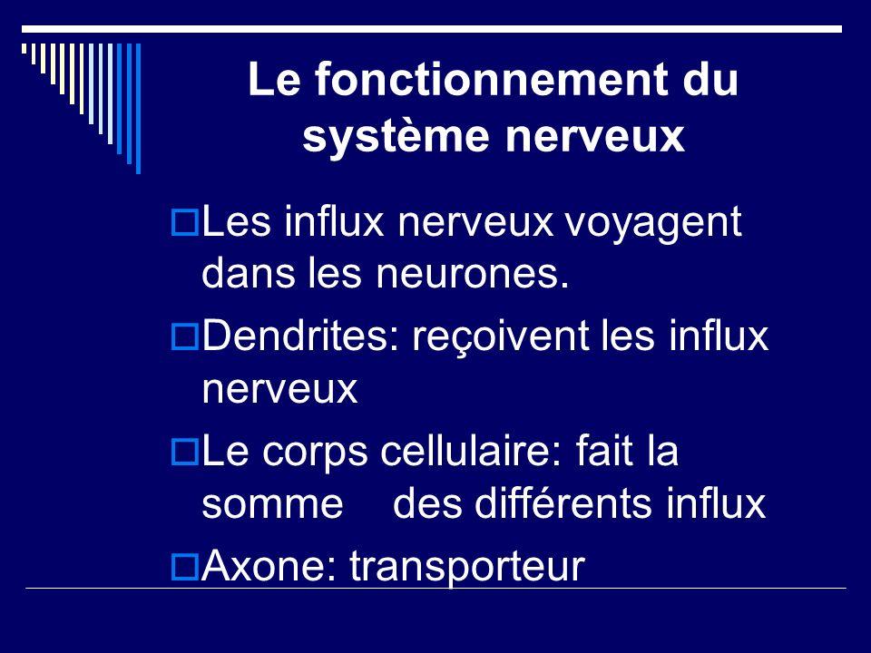 Le fonctionnement du système nerveux Les influx nerveux voyagent dans les neurones. Dendrites: reçoivent les influx nerveux Le corps cellulaire: fait