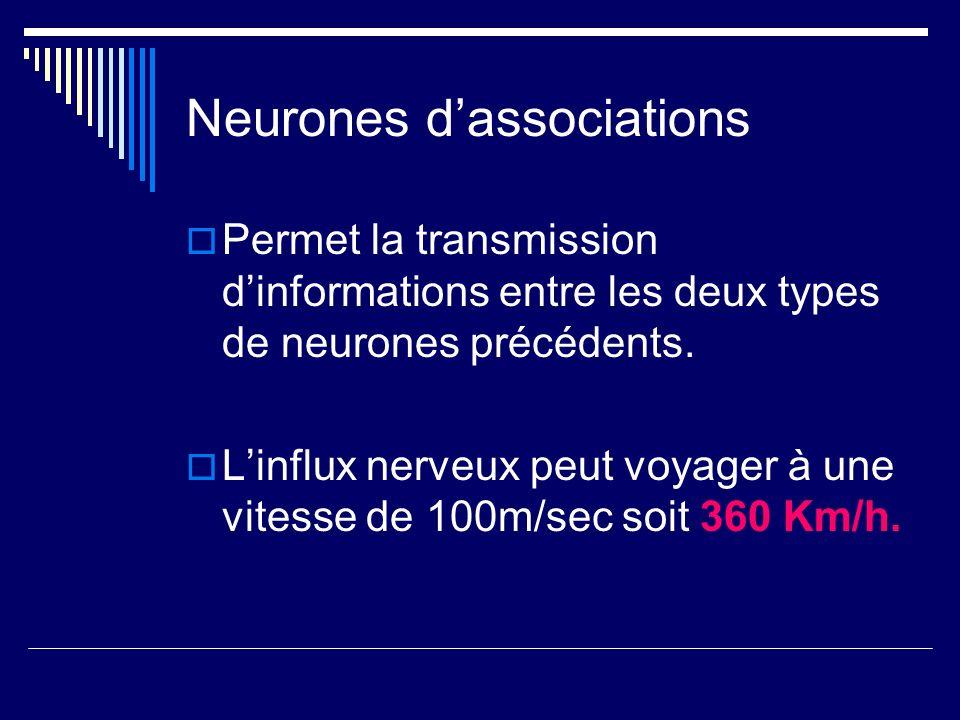 Neurones dassociations Permet la transmission dinformations entre les deux types de neurones précédents. Linflux nerveux peut voyager à une vitesse de