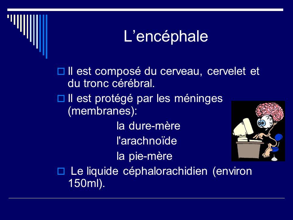 Lencéphale Il est composé du cerveau, cervelet et du tronc cérébral. Il est protégé par les méninges (membranes): la dure-mère l'arachnoïde la pie-mèr