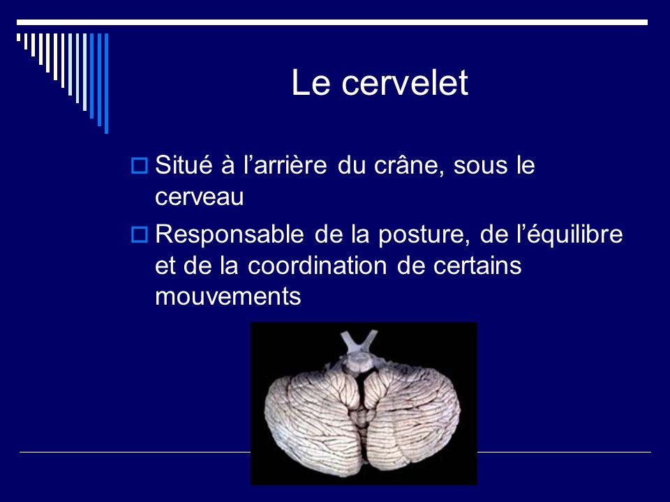 Le cervelet Situé à larrière du crâne, sous le cerveau Responsable de la posture, de léquilibre et de la coordination de certains mouvements