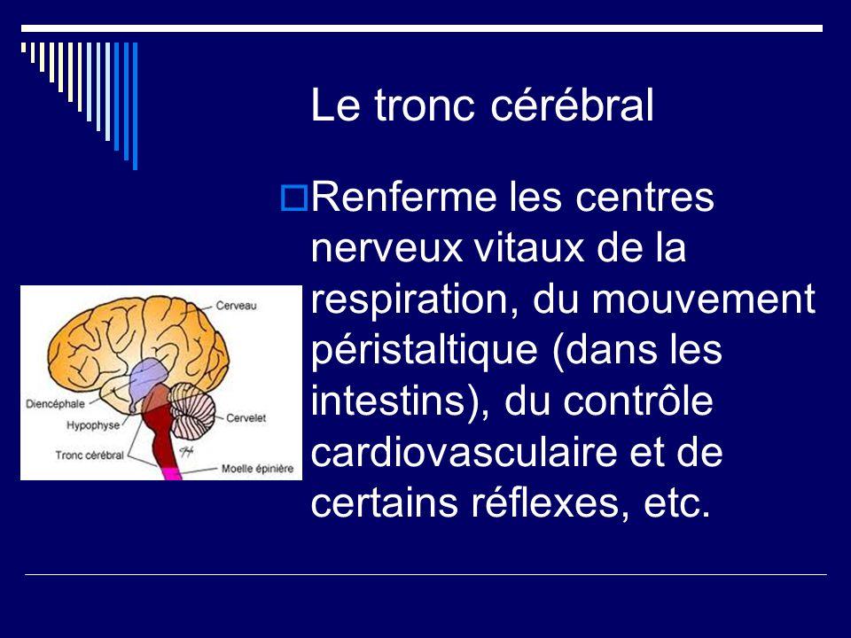 Le tronc cérébral Renferme les centres nerveux vitaux de la respiration, du mouvement péristaltique (dans les intestins), du contrôle cardiovasculaire