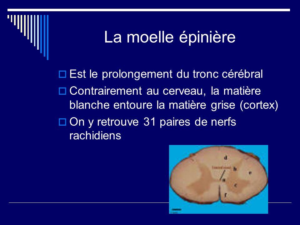 La moelle épinière Est le prolongement du tronc cérébral Contrairement au cerveau, la matière blanche entoure la matière grise (cortex) On y retrouve