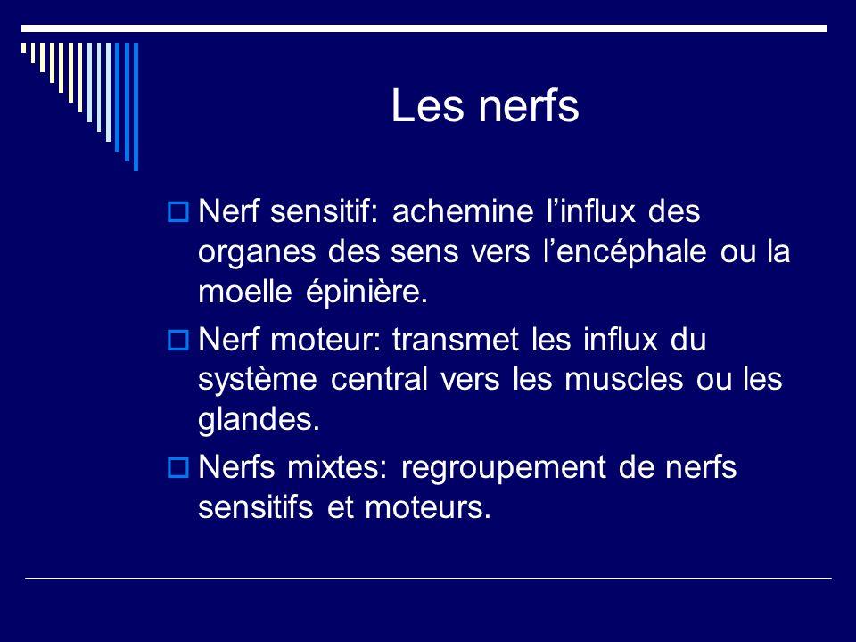 Les nerfs Nerf sensitif: achemine linflux des organes des sens vers lencéphale ou la moelle épinière. Nerf moteur: transmet les influx du système cent