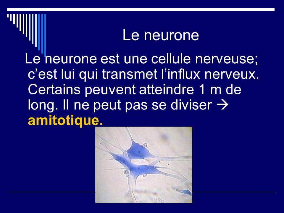 Le neurone Le neurone est une cellule nerveuse; cest lui qui transmet linflux nerveux. Certains peuvent atteindre 1 m de long. Il ne peut pas se divis