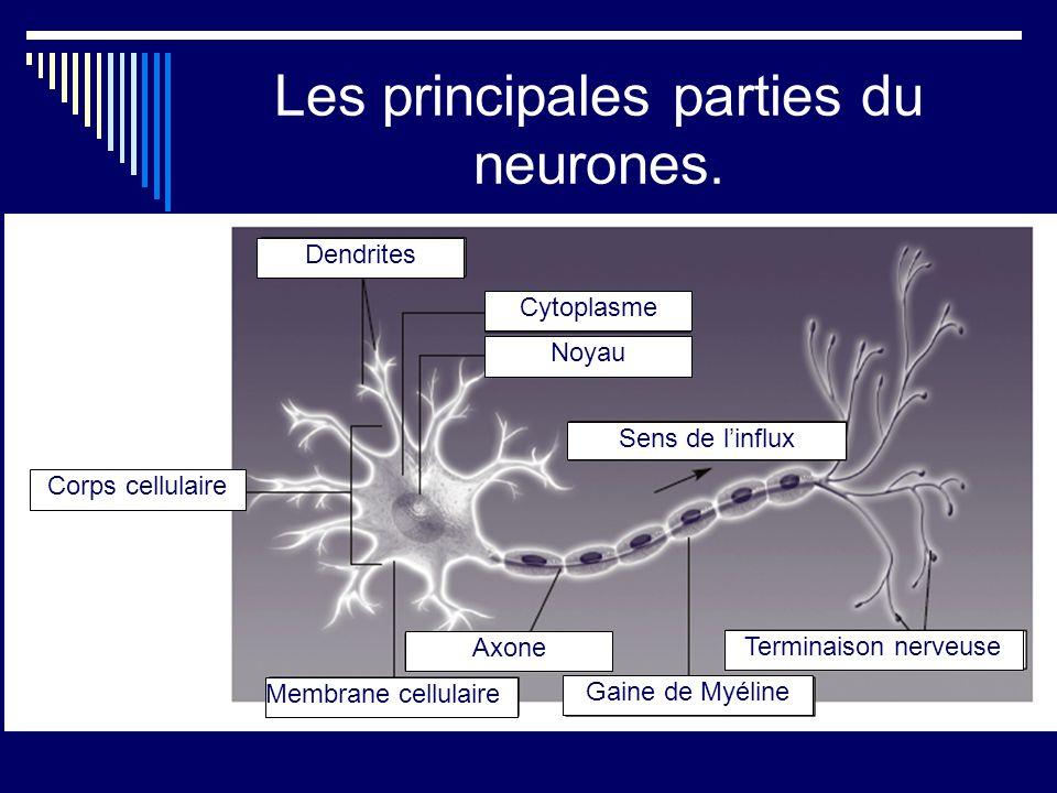 Les principales parties du neurones. Dendrites Corps cellulaire Cytoplasme Noyau Sens de linflux Membrane cellulaire Axone Gaine de Myéline Terminaiso