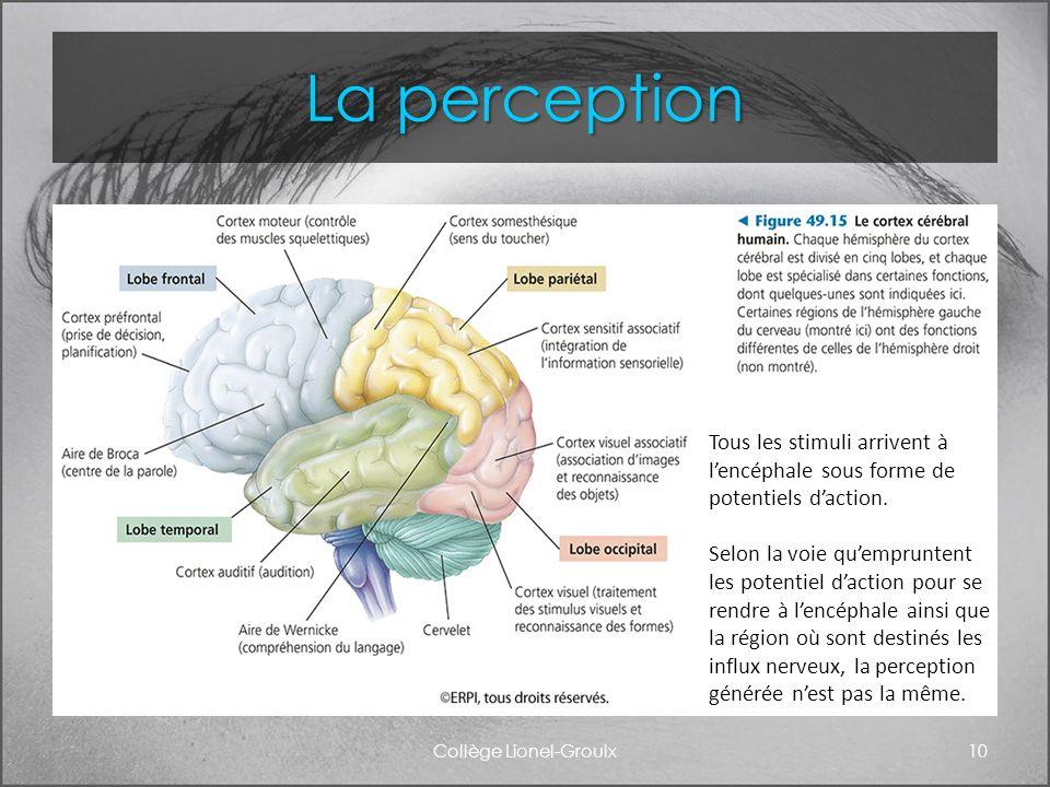 La perception Collège Lionel-Groulx10 Tous les stimuli arrivent à lencéphale sous forme de potentiels daction. Selon la voie quempruntent les potentie