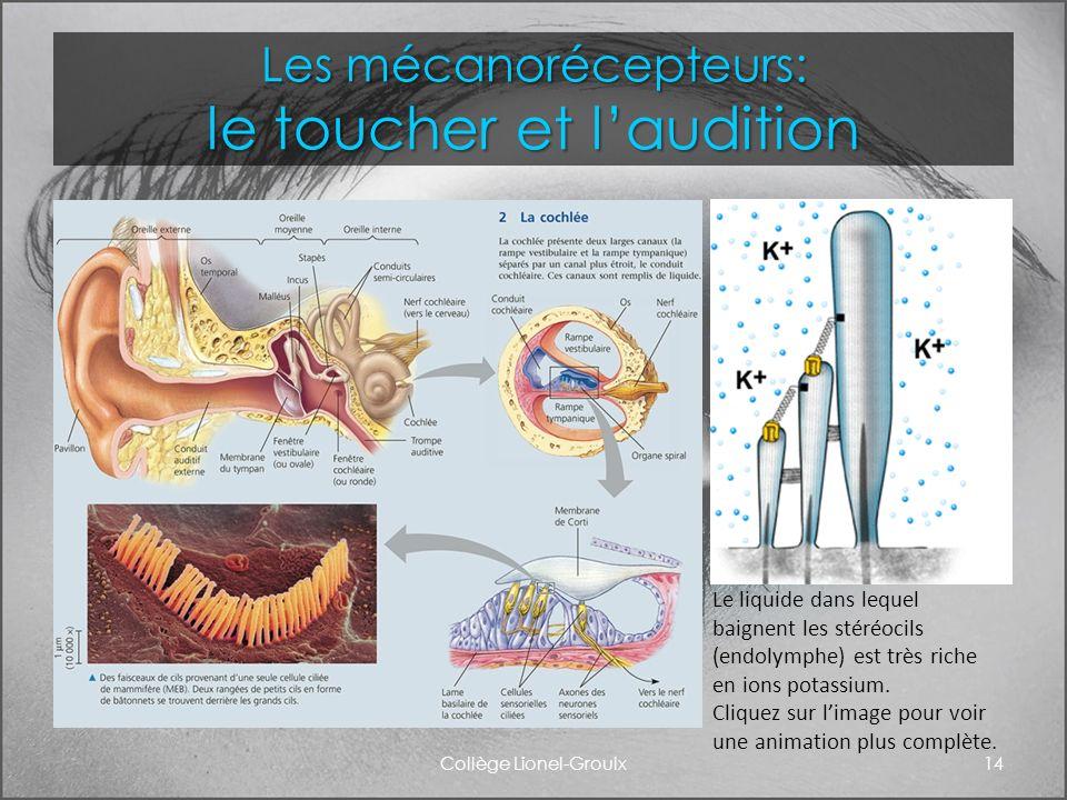 Les mécanorécepteurs: le toucher et laudition Collège Lionel-Groulx14 Le liquide dans lequel baignent les stéréocils (endolymphe) est très riche en io