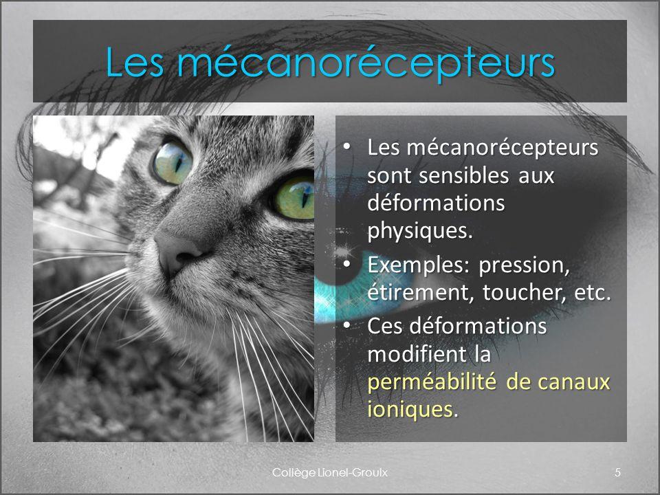 Les mécanorécepteurs Les mécanorécepteurs sont sensibles aux déformations physiques. Exemples: pression, étirement, toucher, etc. Ces déformations mod