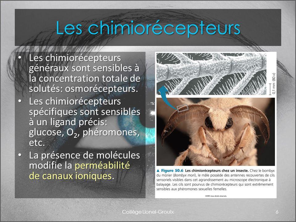 Les chimiorécepteurs Les chimiorécepteurs généraux sont sensibles à la concentration totale de solutés: osmorécepteurs. Les chimiorécepteurs généraux