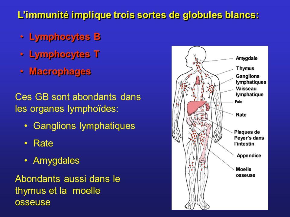 Ces GB sont abondants dans les organes lymphoïdes: Ganglions lymphatiques Rate Amygdales Abondants aussi dans le thymus et la moelle osseuse Limmunité