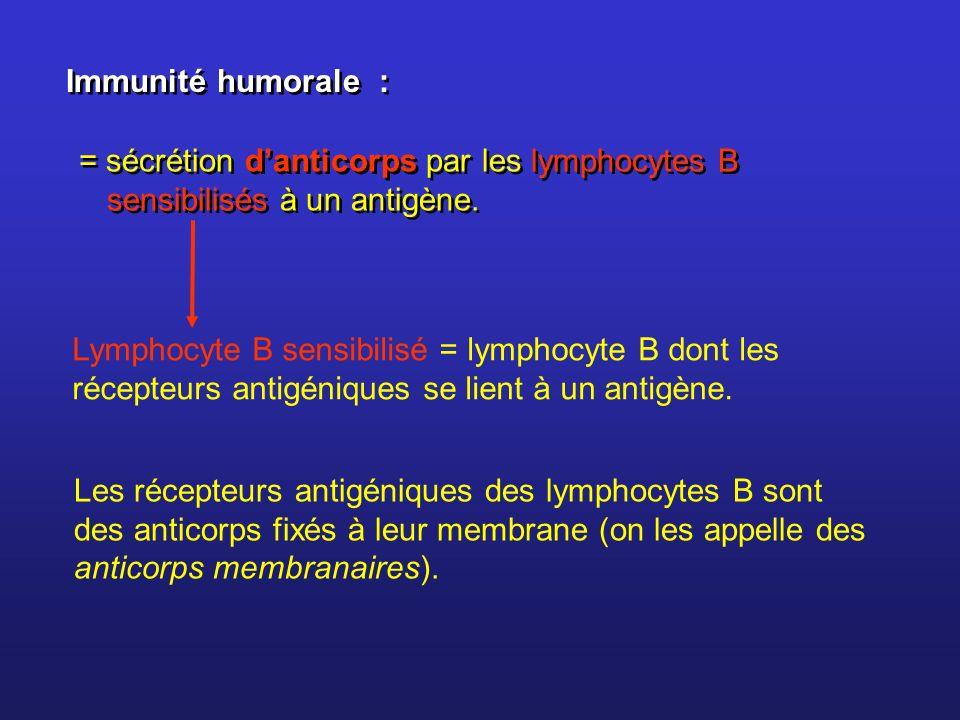 Immunité humorale : = sécrétion danticorps par les lymphocytes B sensibilisés à un antigène. Les récepteurs antigéniques des lymphocytes B sont des an