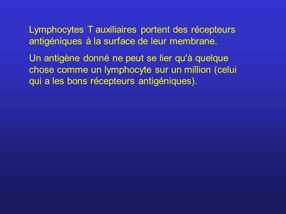 Lymphocytes T auxiliaires portent des récepteurs antigéniques à la surface de leur membrane. Un antigène donné ne peut se lier qu'à quelque chose comm