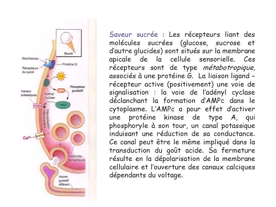 Saveur sucrée : Les récepteurs liant des molécules sucrées (glucose, sucrose et dautre glucides) sont situés sur la membrane apicale de la cellule sensorielle.