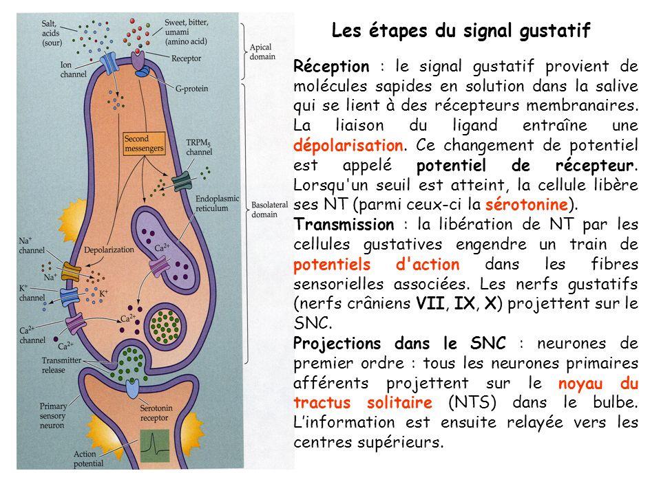 Les étapes du signal gustatif Réception : le signal gustatif provient de molécules sapides en solution dans la salive qui se lient à des récepteurs membranaires.