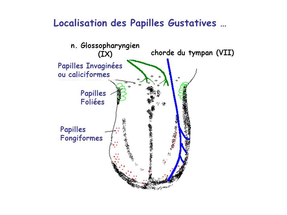 Papilles Invaginées ou caliciformes Papilles Foliées Papilles Fongiformes Localisation des Papilles Gustatives … n.