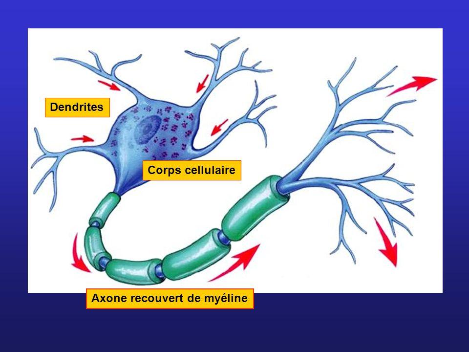 Axone recouvert de myéline Dendrites Corps cellulaire