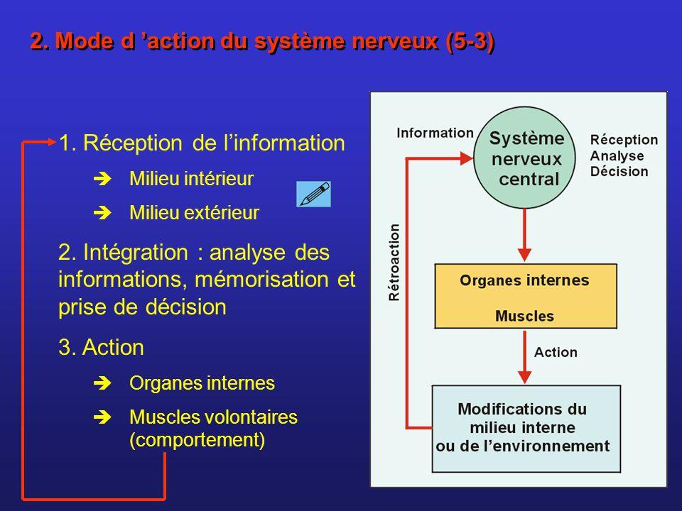 2. Mode d action du système nerveux (5-3) 1. Réception de linformation Milieu intérieur Milieu extérieur 2. Intégration : analyse des informations, mé