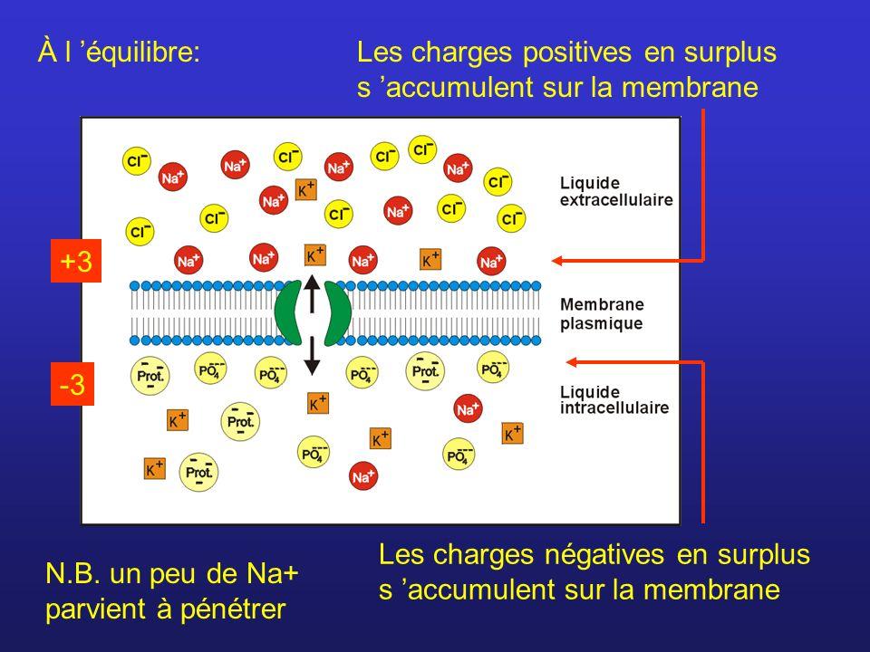 La polarité de la membrane est donc due: Différence de concentration en ions entre lintérieur et l extérieur.
