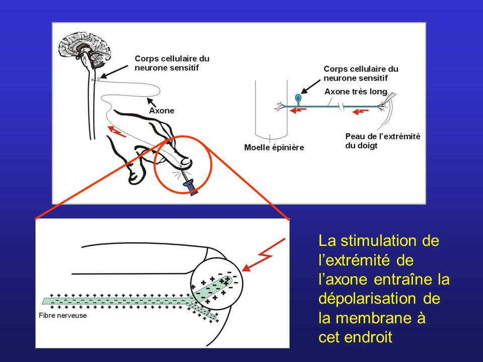Après la repolarisation, la membrane demeure inerte un certain temps (les canaux à sodium ne peuvent pas s ouvrir) = période réfractaire.