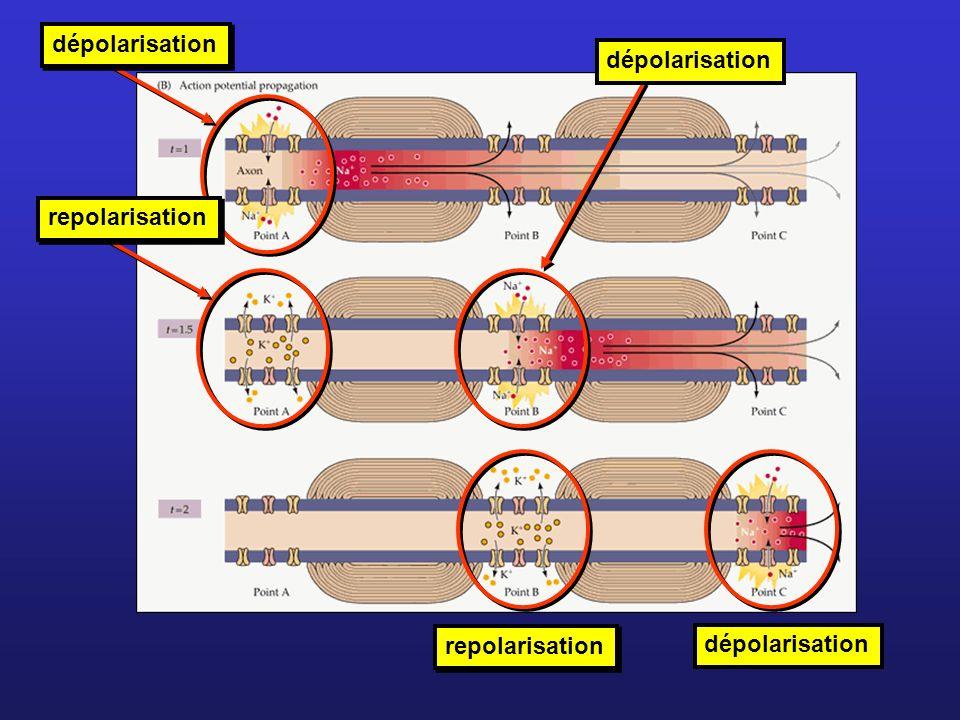 dépolarisation repolarisation dépolarisation repolarisation dépolarisation