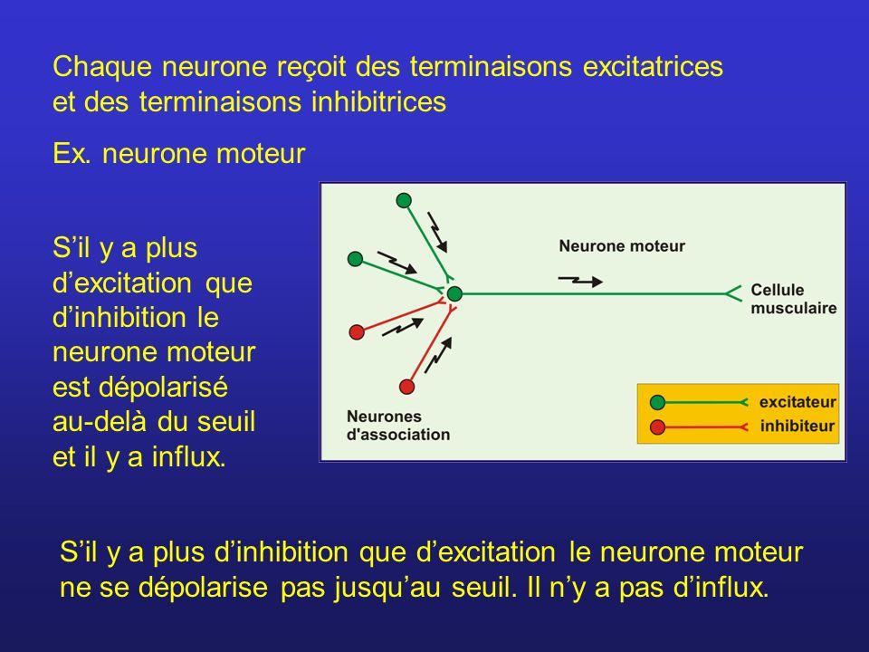 Chaque neurone reçoit des terminaisons excitatrices et des terminaisons inhibitrices Ex. neurone moteur Sil y a plus dexcitation que dinhibition le ne