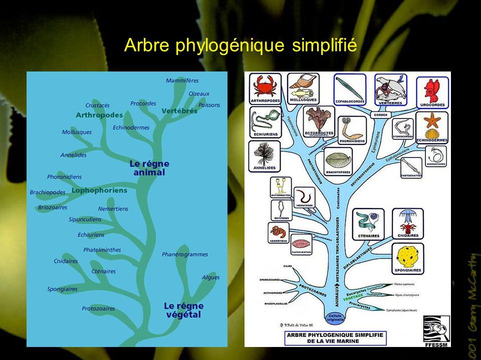 Arbre phylogénique simplifié