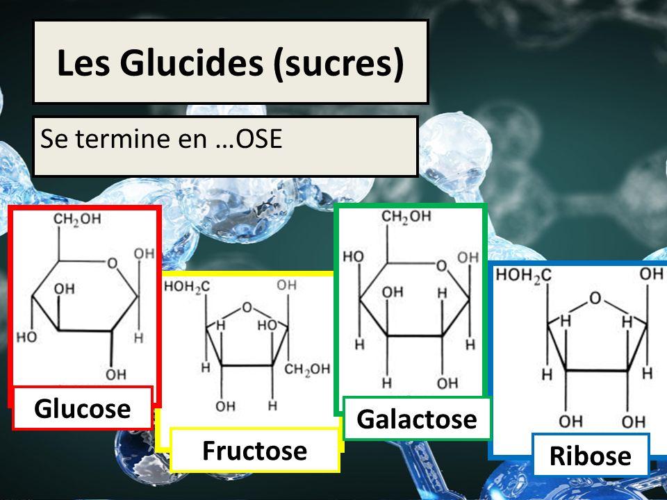 Les Glucides (sucres) Se termine en …OSE Glucose Ribose Galactose Fructose