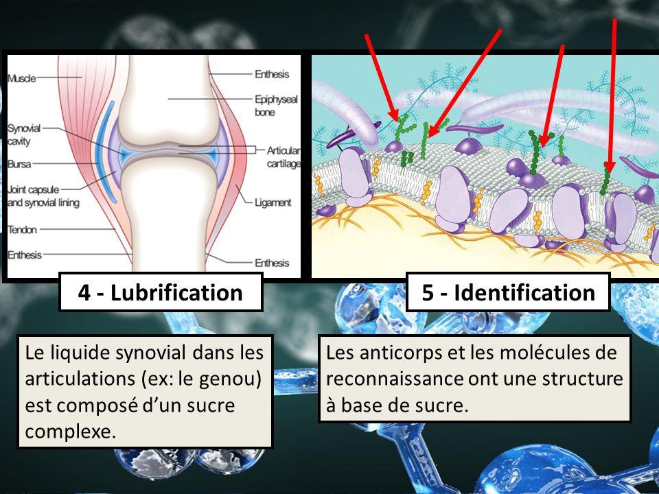 4 - Lubrification5 - Identification Les anticorps et les molécules de reconnaissance ont une structure à base de sucre. Le liquide synovial dans les a