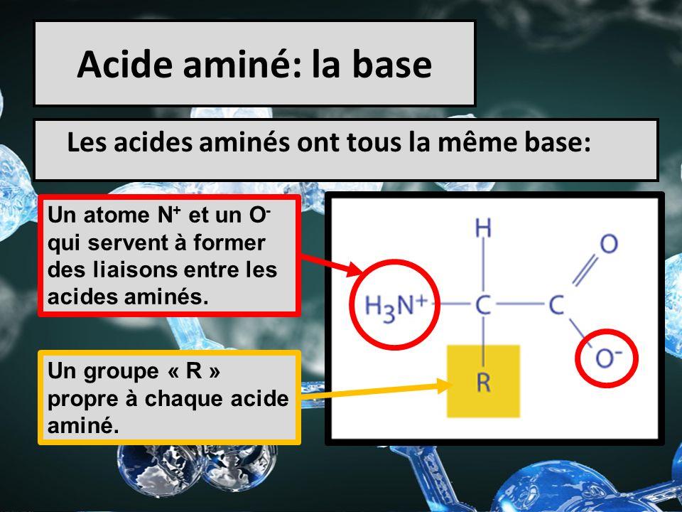 Acide aminé: la base Les acides aminés ont tous la même base: Un atome N + et un O - qui servent à former des liaisons entre les acides aminés. Un gro
