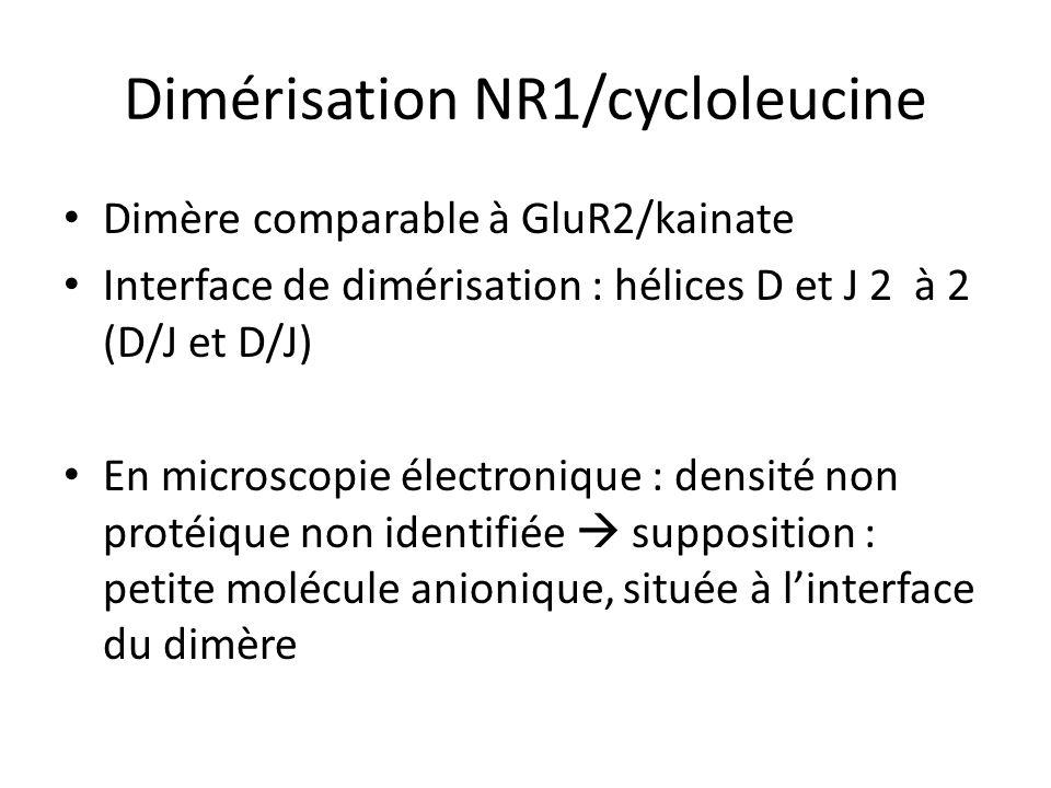 Dimérisation NR1/cycloleucine Dimère comparable à GluR2/kainate Interface de dimérisation : hélices D et J 2 à 2 (D/J et D/J) En microscopie électronique : densité non protéique non identifiée supposition : petite molécule anionique, située à linterface du dimère