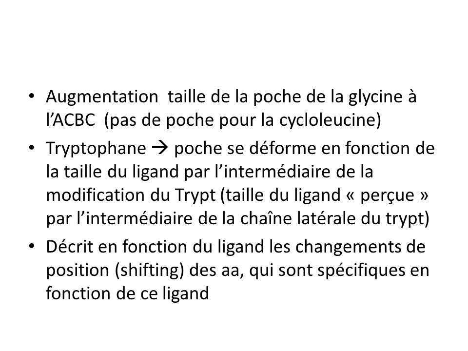 Augmentation taille de la poche de la glycine à lACBC (pas de poche pour la cycloleucine) Tryptophane poche se déforme en fonction de la taille du ligand par lintermédiaire de la modification du Trypt (taille du ligand « perçue » par lintermédiaire de la chaîne latérale du trypt) Décrit en fonction du ligand les changements de position (shifting) des aa, qui sont spécifiques en fonction de ce ligand