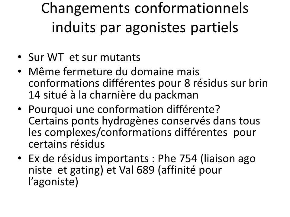 Changements conformationnels induits par agonistes partiels Sur WT et sur mutants Même fermeture du domaine mais conformations différentes pour 8 résidus sur brin 14 situé à la charnière du packman Pourquoi une conformation différente.