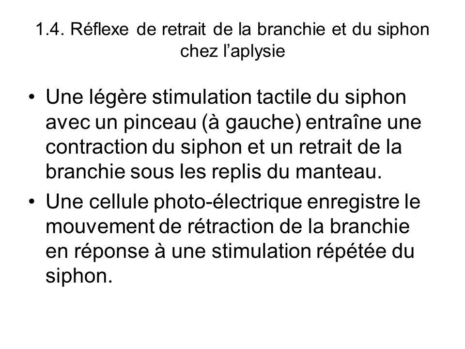 Une légère stimulation tactile du siphon avec un pinceau (à gauche) entraîne une contraction du siphon et un retrait de la branchie sous les replis du