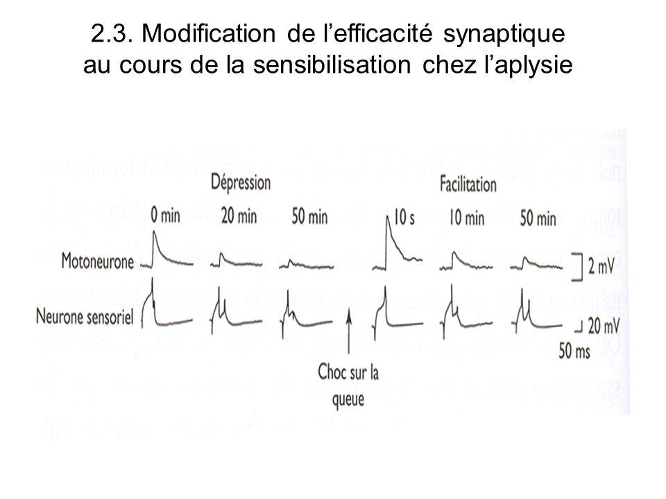 2.3. Modification de lefficacité synaptique au cours de la sensibilisation chez laplysie