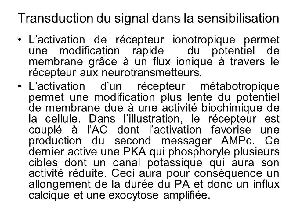 Lactivation de récepteur ionotropique permet une modification rapide du potentiel de membrane grâce à un flux ionique à travers le récepteur aux neuro