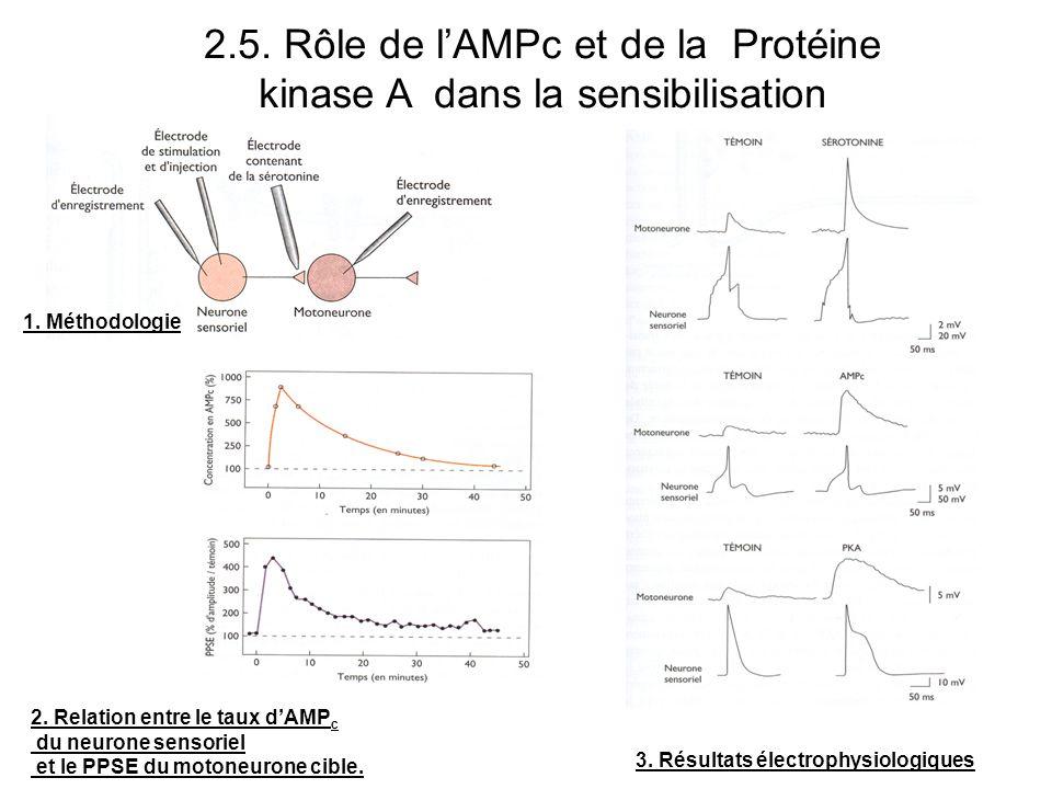 2.5. Rôle de lAMPc et de la Protéine kinase A dans la sensibilisation 1. Méthodologie 3. Résultats électrophysiologiques 2. Relation entre le taux dAM