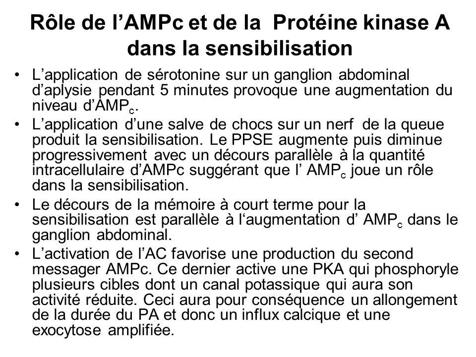 Lapplication de sérotonine sur un ganglion abdominal daplysie pendant 5 minutes provoque une augmentation du niveau dAMP c. Lapplication dune salve de