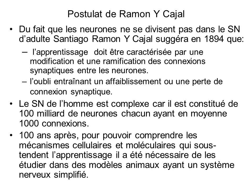 Postulat de Ramon Y Cajal Du fait que les neurones ne se divisent pas dans le SN dadulte Santiago Ramon Y Cajal suggéra en 1894 que: – lapprentissage