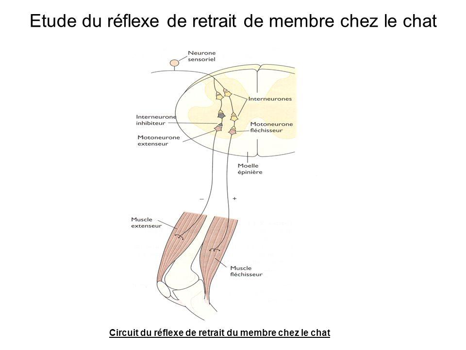 Etude du réflexe de retrait de membre chez le chat Circuit du réflexe de retrait du membre chez le chat